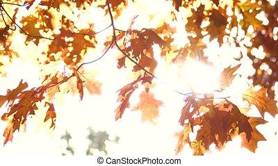 Golden oak leaves and bright sunshine. Sunshine background.