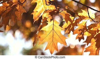 Golden oak leaves, close up. Waving orange leaves...