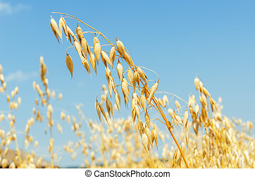 golden oat close up