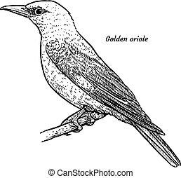 Golden oriole, Oriolus oriolus illustration, drawing,...