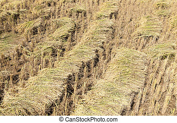 Golden paddy pile after the harvesting time.