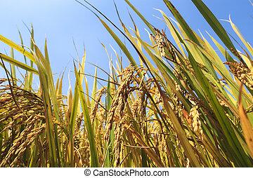 golden paddy rice under the sunshine