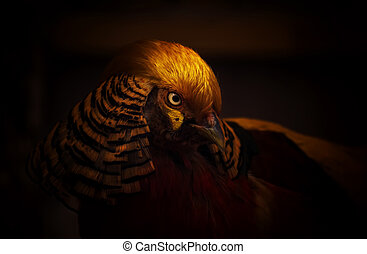 Golden pheasant on a dark background. Close-up. Unrecognizable place. Selective focus