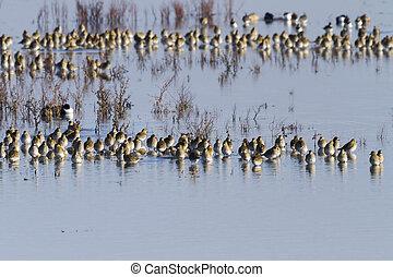 Golden-Plover