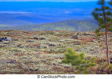 Golden Plover on expanses of Lapland tundra.