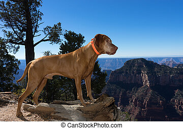 golden pointing dog standing on the edge of the canyon