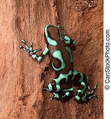 golden poison dart frog dendrobates auratus poisonous animal...