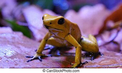 Golden Poison Dart Frog - The golden poison frog,...