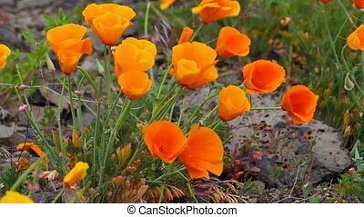 Golden Poppy Wildflowers Blooming Spring Season in Maryhill...