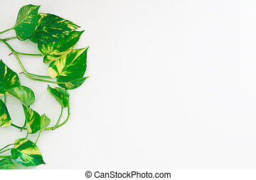 Golden pothos or devil's ivy or Epipremnum aureum, heart-shaped leaves vine on white backgroun with copy space for your text. Mother Earth day background concept.