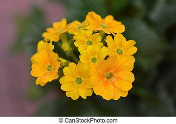 Golden primrose Cabrillo Dark Yellow Compact - Latin name - ...