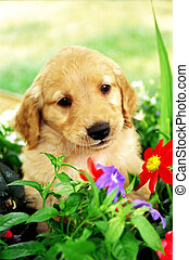 Puppy - Golden Puppy