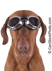 dog wearing vintage motorbike glasses - golden pure breed...