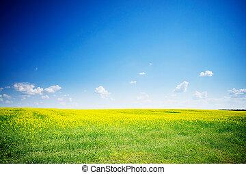 Fine rapeseed field under blue sky.
