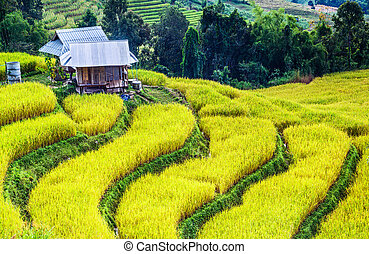 Golden real rice filed