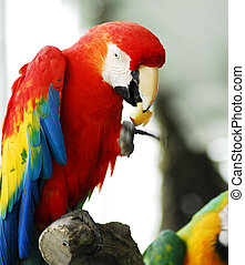 Golden Red Macaw Bird isolated - isolated closeup of Golden...