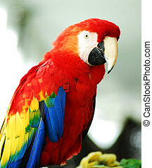 Golden Red Macaw Bird - A closeup shot of a Golden Red Macaw...