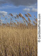 reed bed background - golden reed bed background image with...