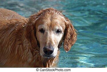 golden retreiver in pool