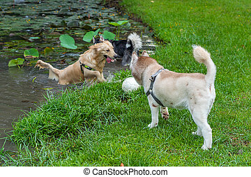 Golden retriever and brown husky dog playing ball in water. High quality photo