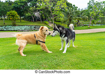 Golden retriever and husky dog making friends at the park