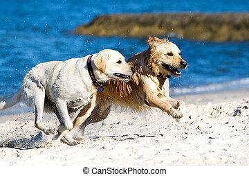 Golden retriever and labrador on the beach