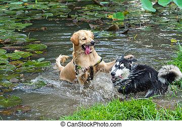 Golden retriever and Siberian husky having dog fighting under water pond