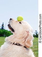Golden retriever beautiful dog