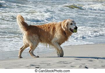 Golden retriever dog at the sea