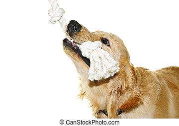 Golden retriever dog biting rope toy - Playful golden...