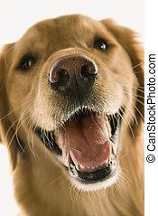 Golden Retriever dog closeup.