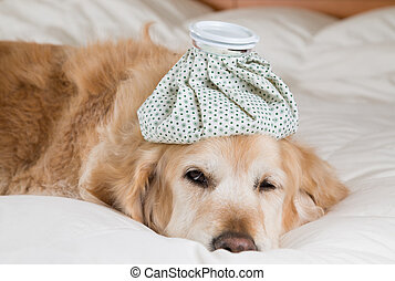 Golden Retriever Dog cold convalescing in bed