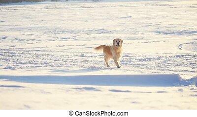 Golden retriever dog enjoying winter in the snow on sunny...