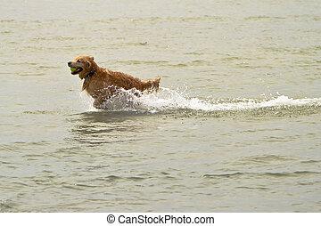 Golden Retriever Dog Fetching in Water