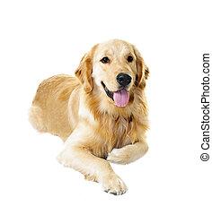 Golden retriever dog - Golden retriever pet dog laying down...