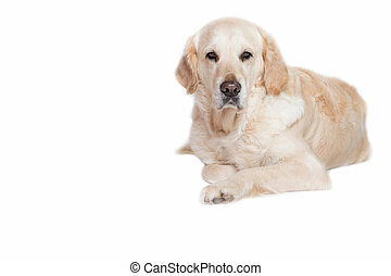 Golden Retriever Dog looking at the camera