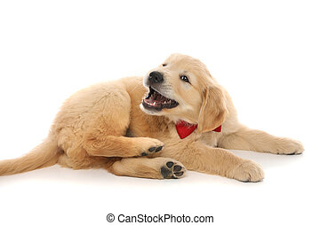 golden retriever dog lying down, barking and wearing a bowtie