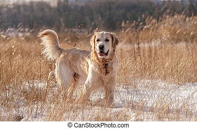 Golden retriever dog on winter nature