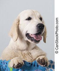 Golden Retriever dog portrait
