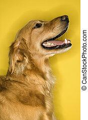 Golden Retriever dog profile.