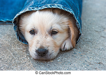 golden retriever dog puppy in denim laying on the ground, selective focus