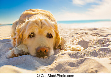 golden retriever dog relaxing, resting, or sleeping at the beach, under the bright sun