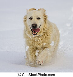 Golden retriever dog running in the snow