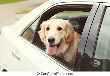 Golden Retriever dog sits in the car and looking out the window