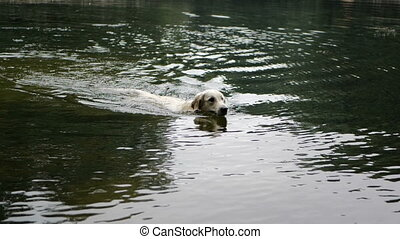 Golden retriever dog swimming in the in the park pond - 4k...