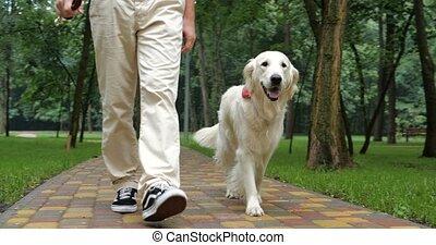 Golden retriever dog walking outdoor in slow motion - Owner...