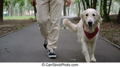 Golden retriever dog walking outdoor in slow motion - Owner...