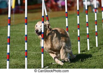 Golden Retriever doing dog agility