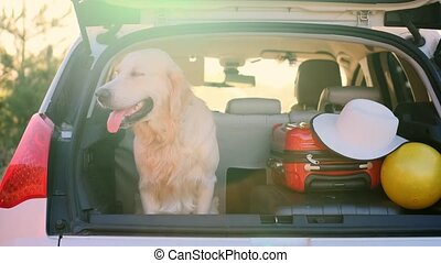 Golden retriever sitting in open car trunk next to luggage