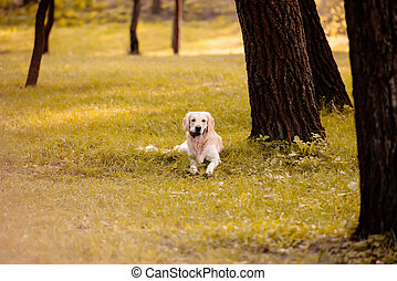 Golden retriever in park